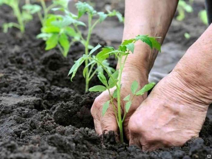 Мощные и сильнорослые, индетерминантного типа роста томаты сорта Интуиция целесообразно размещать со стандартным расстоянием в 25−30 см